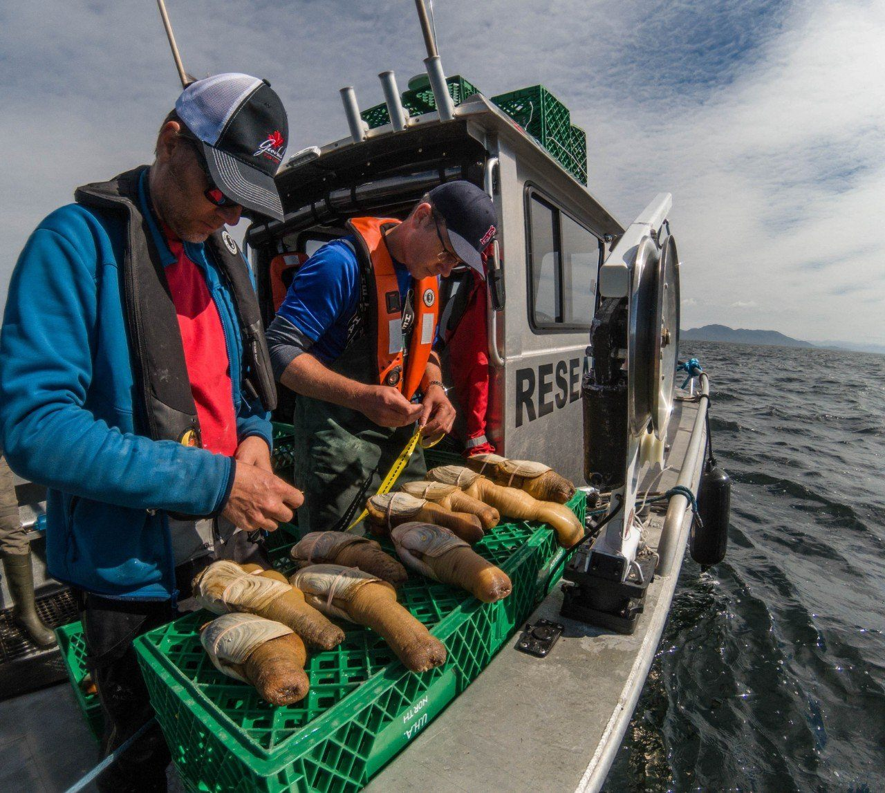 measuring geoduck on the boat