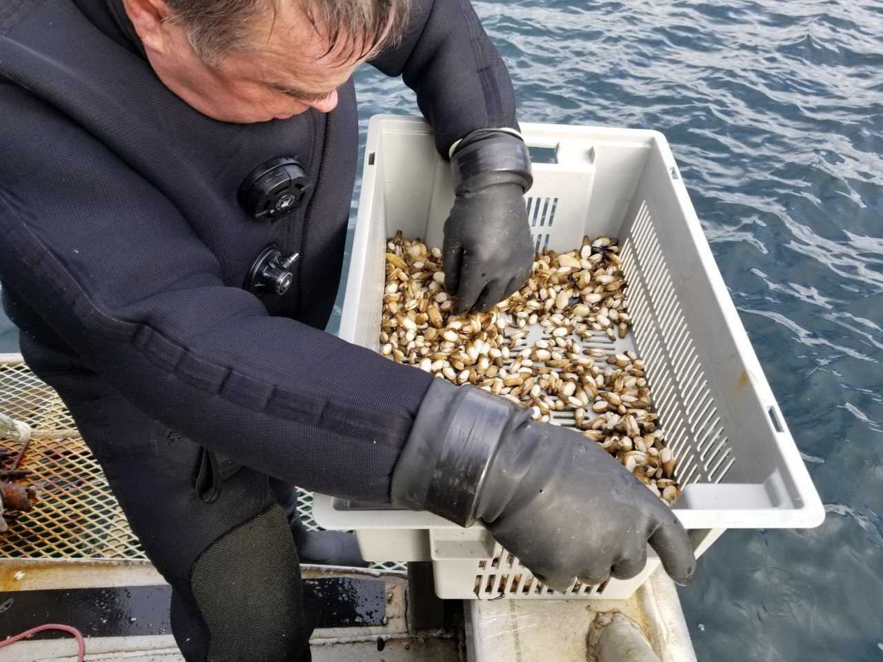 Diver checking Geoduck seeds in a bucket on a boat