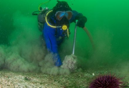 Diver blow water to harvest geoduck