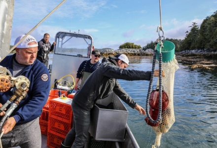 Lifting geoduck onto the boat